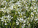 English Scurvygrass