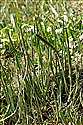 Sea Arrowgrass