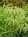 Wood Horsetail