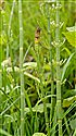 Water Horsetail