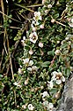 Entire-leaved Cotoneaster